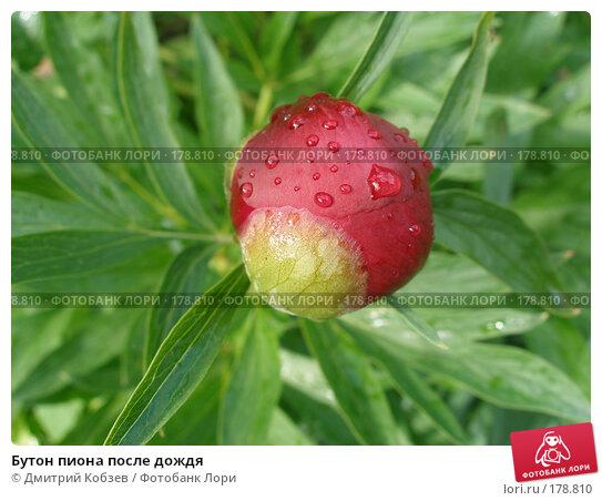 Купить «Бутон пиона после дождя», фото № 178810, снято 12 июня 2006 г. (c) Дмитрий Кобзев / Фотобанк Лори