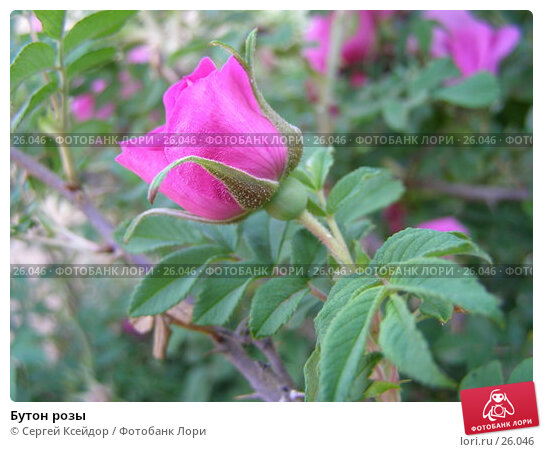 Бутон розы, фото № 26046, снято 24 июня 2006 г. (c) Сергей Ксейдор / Фотобанк Лори