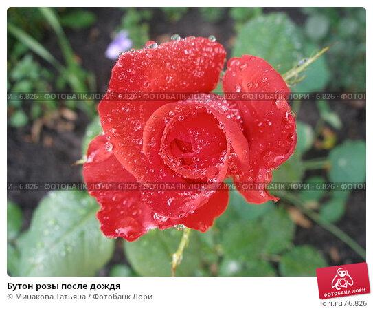 Бутон розы после дождя, фото № 6826, снято 8 июля 2006 г. (c) Минакова Татьяна / Фотобанк Лори