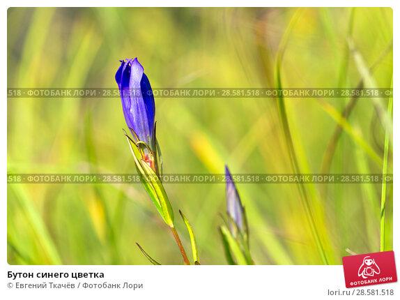 Купить «Бутон синего цветка», фото № 28581518, снято 13 августа 2016 г. (c) Евгений Ткачёв / Фотобанк Лори