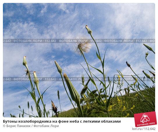 Купить «Бутоны козлобородника на фоне неба с легкими облаками», фото № 112642, снято 12 июня 2006 г. (c) Борис Панасюк / Фотобанк Лори