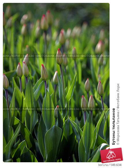Купить «Бутоны тюльпанов», фото № 149634, снято 7 мая 2006 г. (c) Морозова Татьяна / Фотобанк Лори
