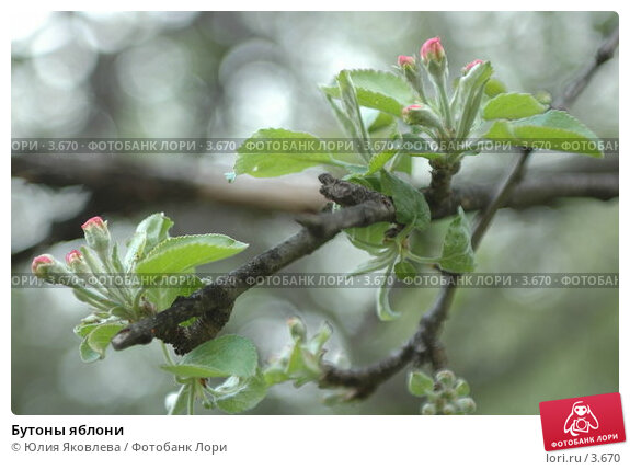 Бутоны яблони, фото № 3670, снято 16 мая 2006 г. (c) Юлия Яковлева / Фотобанк Лори