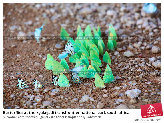 Butterflies at the kgalagadi transfrontier national park south africa. Стоковое фото, фотограф Zoonar.com/matthieu gallet / easy Fotostock / Фотобанк Лори