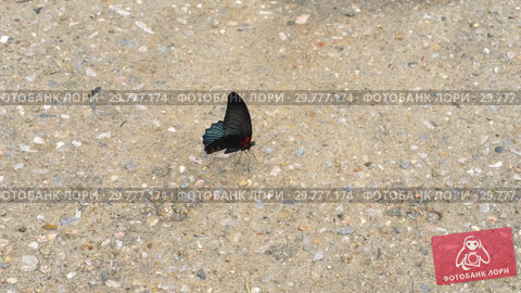 Купить «Butterfly Common Mormon», видеоролик № 29777174, снято 22 января 2019 г. (c) Игорь Жоров / Фотобанк Лори