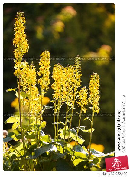 Бузульник (Ligularia) Стоковое фото, фотограф Юлия Бабкина / Фотобанк Лори