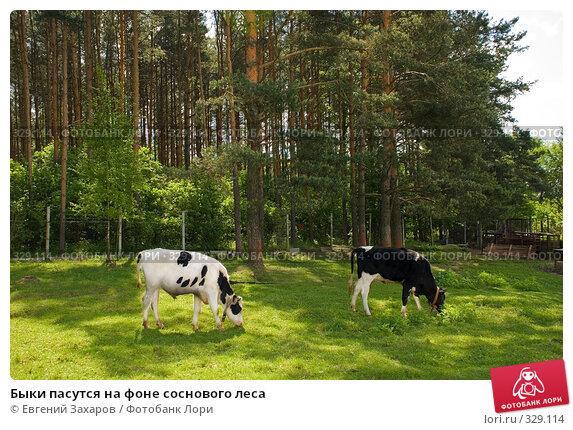 Быки пасутся на фоне соснового леса, фото № 329114, снято 31 мая 2008 г. (c) Евгений Захаров / Фотобанк Лори