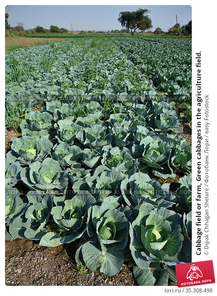 Cabbage field or farm, Green cabbages in the agriculture field. Стоковое фото, фотограф Dipak Chhagan Shelare / easy Fotostock / Фотобанк Лори