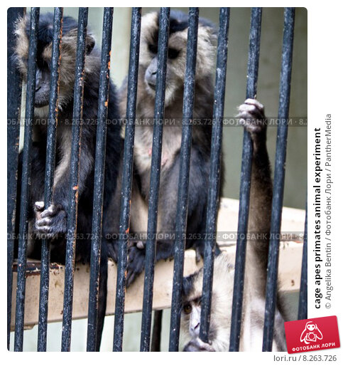 a look at animal experiments that show the intellectual abilities of primates
