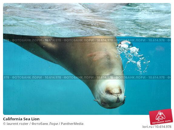 California Sea Lion. Стоковое фото, фотограф laurent rozier / PantherMedia / Фотобанк Лори