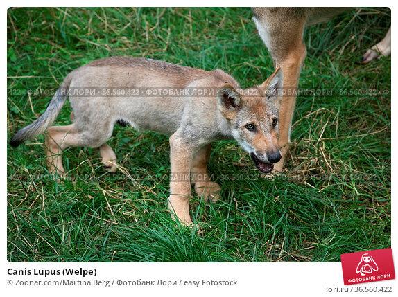 Canis Lupus (Welpe) Стоковое фото, фотограф Zoonar.com/Martina Berg / easy Fotostock / Фотобанк Лори