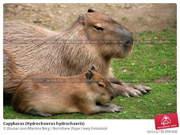 Capybaras (Hydrochoerus hydrochaeris) Стоковое фото, фотограф Zoonar.com/Martina Berg / easy Fotostock / Фотобанк Лори