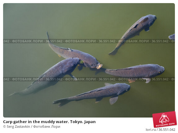 Carp gather in the muddy water. Tokyo. Japan (2019 год). Стоковое фото, фотограф Serg Zastavkin / Фотобанк Лори