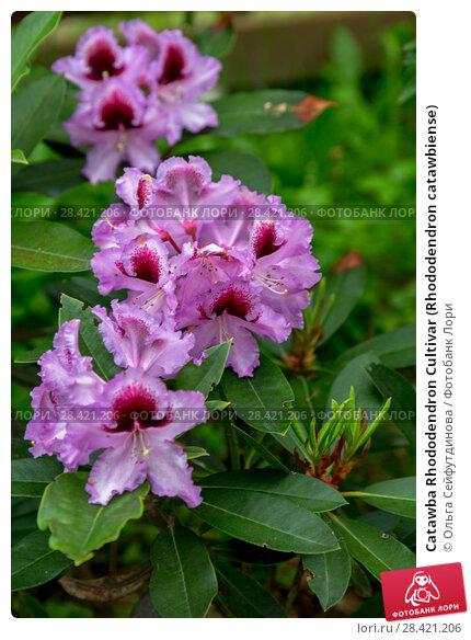 Купить «Catawba Rhododendron Cultivar (Rhododendron catawbiense)», фото № 28421206, снято 10 июня 2017 г. (c) Ольга Сейфутдинова / Фотобанк Лори