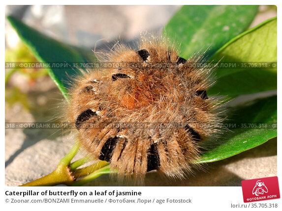 Caterpillar of butterfly on a leaf of jasmine. Стоковое фото, фотограф Zoonar.com/BONZAMI Emmanuelle / age Fotostock / Фотобанк Лори
