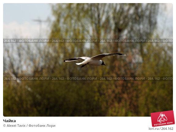 Чайка, эксклюзивное фото № 264162, снято 27 апреля 2008 г. (c) Alexei Tavix / Фотобанк Лори