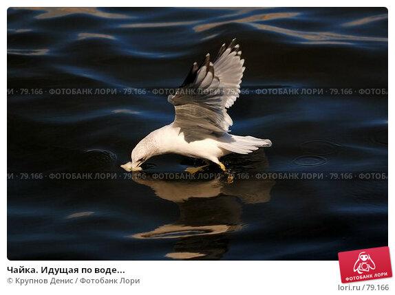 Чайка. Идущая по воде..., фото № 79166, снято 31 июля 2007 г. (c) Крупнов Денис / Фотобанк Лори
