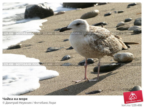 Чайка на море, эксклюзивное фото № 229498, снято 26 сентября 2005 г. (c) Дмитрий Нейман / Фотобанк Лори