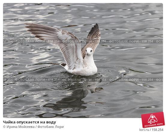 Чайка опускается на воду, эксклюзивное фото № 158254, снято 16 сентября 2007 г. (c) Ирина Мойсеева / Фотобанк Лори