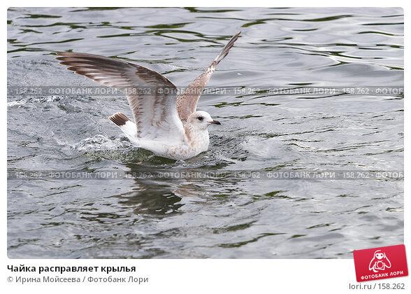 Чайка расправляет крылья, эксклюзивное фото № 158262, снято 16 сентября 2007 г. (c) Ирина Мойсеева / Фотобанк Лори