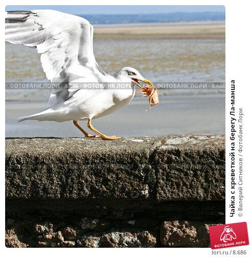 Чайка с креветкой на берегу Ла-манша, фото № 8686, снято 19 октября 2005 г. (c) Валерий Ситников / Фотобанк Лори