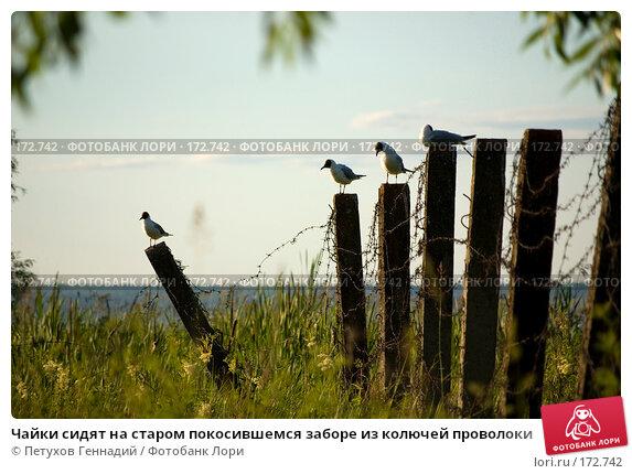 Чайки сидят на старом покосившемся заборе из колючей проволоки, фото № 172742, снято 30 июня 2007 г. (c) Петухов Геннадий / Фотобанк Лори