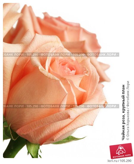 Чайная роза, крупный план, фото № 105290, снято 23 марта 2017 г. (c) Ольга Хорькова / Фотобанк Лори