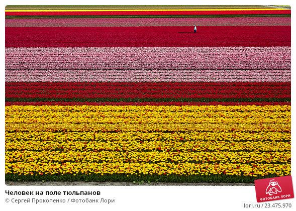 Купить «Человек на поле тюльпанов», фото № 23475970, снято 2 мая 2016 г. (c) Сергей Прокопенко / Фотобанк Лори