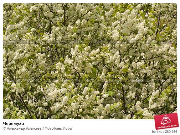 Черемуха, эксклюзивное фото № 280986, снято 11 мая 2008 г. (c) Александр Алексеев / Фотобанк Лори