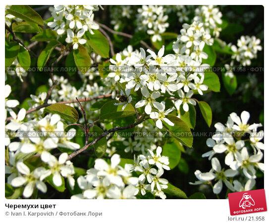 Купить «Черемухи цвет», фото № 21958, снято 4 мая 2006 г. (c) Ivan I. Karpovich / Фотобанк Лори