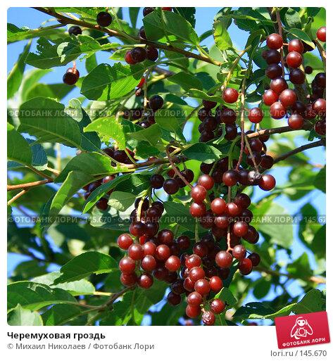 Черемуховая гроздь, фото № 145670, снято 17 августа 2007 г. (c) Михаил Николаев / Фотобанк Лори