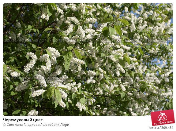 Черемуховый цвет, фото № 309454, снято 29 апреля 2008 г. (c) Cветлана Гладкова / Фотобанк Лори