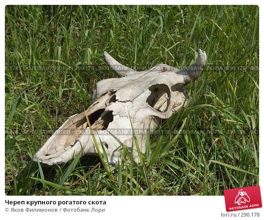 Череп крупного рогатого скота, фото № 290178, снято 18 мая 2008 г. (c) Яков Филимонов / Фотобанк Лори