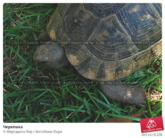 Черепаха, фото № 6238, снято 12 июля 2006 г. (c) Маргарита Лир / Фотобанк Лори