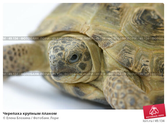 Черепаха крупным планом, фото № 49134, снято 27 апреля 2007 г. (c) Елена Блохина / Фотобанк Лори