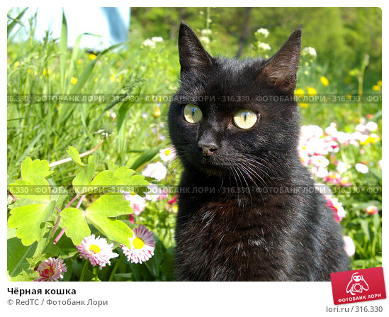 Чёрная кошка, фото № 316330, снято 9 июня 2008 г. (c) RedTC / Фотобанк Лори