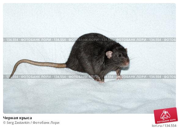 Черная крыса, фото № 134554, снято 11 октября 2006 г. (c) Serg Zastavkin / Фотобанк Лори