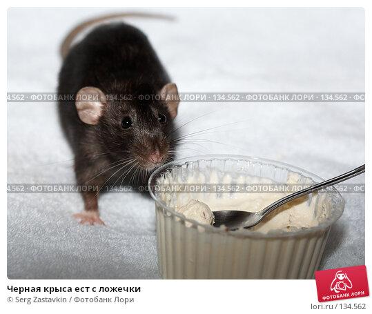 Черная крыса ест с ложечки, фото № 134562, снято 11 октября 2006 г. (c) Serg Zastavkin / Фотобанк Лори