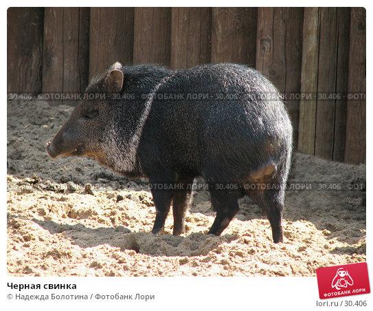 Черная свинка, фото № 30406, снято 3 июня 2006 г. (c) Надежда Болотина / Фотобанк Лори