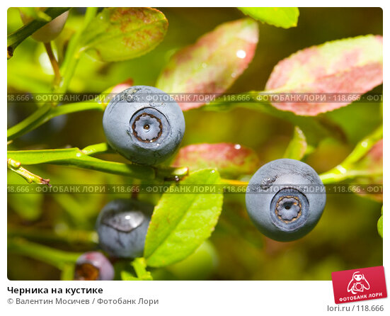 Купить «Черника на кустике», фото № 118666, снято 8 июля 2007 г. (c) Валентин Мосичев / Фотобанк Лори
