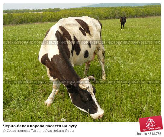 Купить «Черно-белая корова пасется на лугу», фото № 318786, снято 24 мая 2008 г. (c) Севостьянова Татьяна / Фотобанк Лори