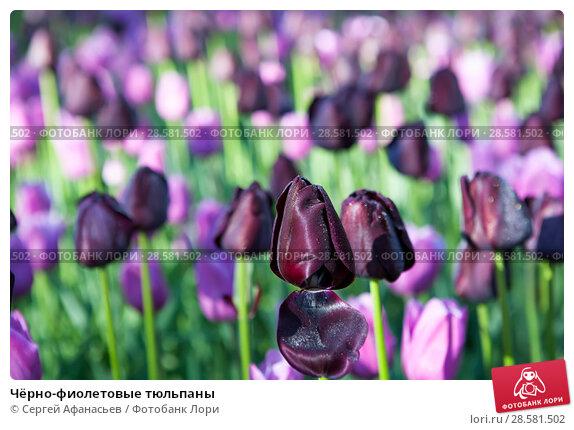 Купить «Чёрно-фиолетовые тюльпаны», фото № 28581502, снято 4 мая 2018 г. (c) Сергей Афанасьев / Фотобанк Лори