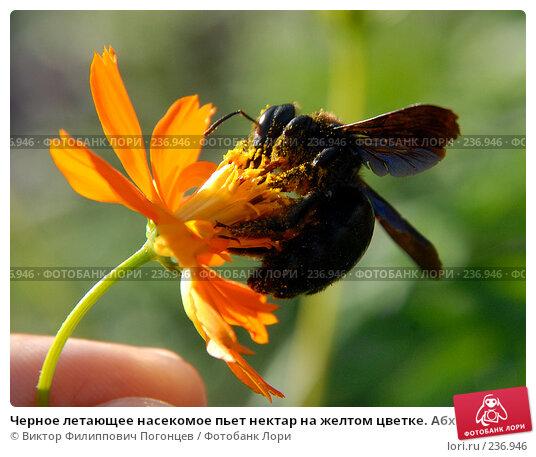 Купить «Черное летающее насекомое пьет нектар на желтом цветке. Абхазия», фото № 236946, снято 25 августа 2006 г. (c) Виктор Филиппович Погонцев / Фотобанк Лори