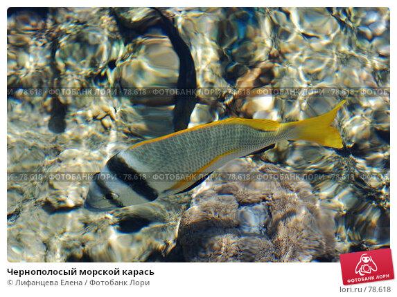 Чернополосый морской карась, фото № 78618, снято 22 августа 2007 г. (c) Лифанцева Елена / Фотобанк Лори