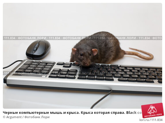 Черные компьютерные мышь и крыса. Крыса которая справа. Black computer rat, фото № 111834, снято 7 сентября 2007 г. (c) Argument / Фотобанк Лори