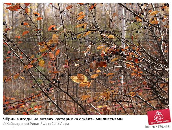 Купить «Чёрные ягоды на ветвях кустарника с жёлтыми листьями», фото № 179418, снято 9 октября 2005 г. (c) Хайрятдинов Ринат / Фотобанк Лори