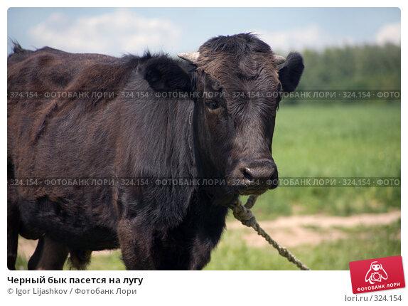 Черный бык пасется на лугу, фото № 324154, снято 14 июня 2008 г. (c) Igor Lijashkov / Фотобанк Лори