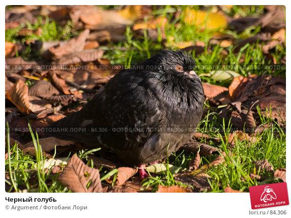 Черный голубь, фото № 84306, снято 20 октября 2006 г. (c) Argument / Фотобанк Лори