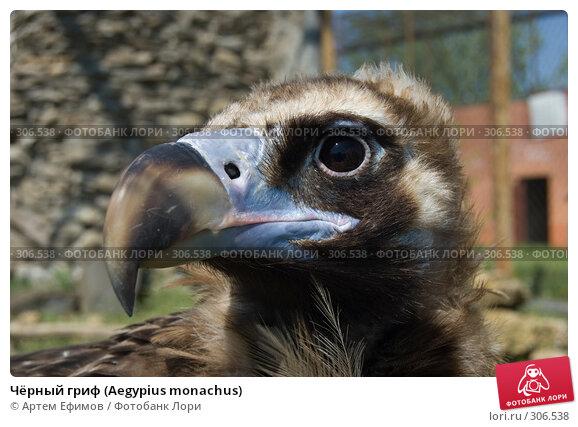 Купить «Чёрный гриф (Aegypius monachus)», фото № 306538, снято 4 мая 2008 г. (c) Артем Ефимов / Фотобанк Лори