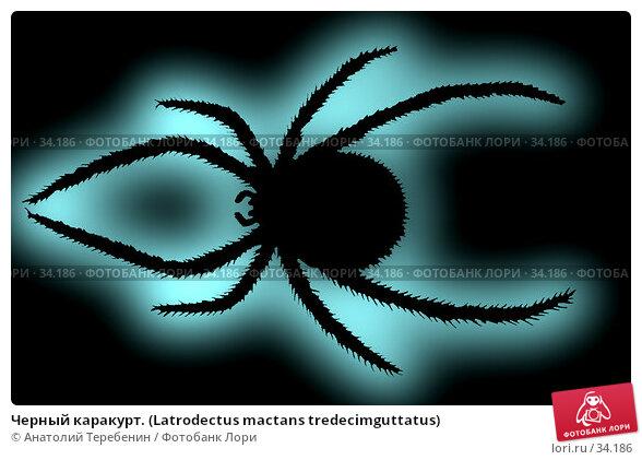 Черный каракурт. (Latrodectus mactans tredecimguttatus), фото № 34186, снято 16 августа 2017 г. (c) Анатолий Теребенин / Фотобанк Лори
